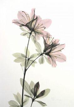 Flower X-ray by Albert Koetsier