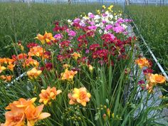 Colourful view at the #freesia fall trials.
