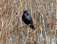 Starling On Dry Arrangement Photograph by Irfan Gillani - Starling On Dry Arrangement Fine Art Prints and Posters for Sale fineartamerica.com