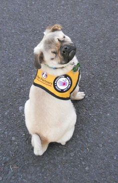 Last January, Xander was admitted to a local animal shelter. He was was adopted a few days later by Rodney Beedy. | Meet Xander, The Impossibly Cute Blind Service Pug That Helps Victims Of Child Abuse
