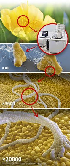 Pollen under an electron microscope.