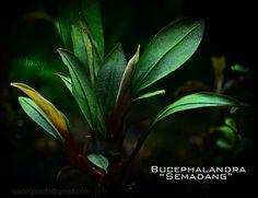Bucephalandra Semadang | Flickr - Photo Sharing!