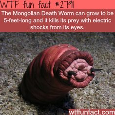 The mongolian death worm - WTF fun facts. More of a WFT scary fact. Scary Facts, Wtf Fun Facts, True Facts, Funny Facts, Random Facts, Random Stuff, Tier Zoo, What The Fact, Science Facts