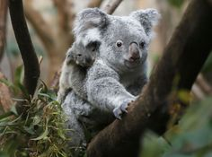 The yet unnamed male koala joey rides on his mother Goonderrah's back at the Zoo in Duisburg, western Germany on Wednesday, March 27, 2013. The little Koala left his mother's pouch after six months for the first time