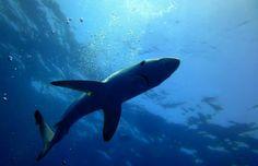 Os reis dos mares fizeram-nos uma visita!  Foto: José Tourais - Coordenador Nautilus-Sub - Julho 2014 #mergulho #sesimbra #shark