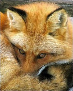 Red Fox ♥    Please SHARE our Wild for Wildlife and Nature page. https://www.facebook.com/WildforWildlifeandNature