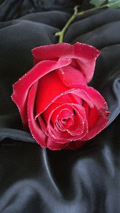Decent Image Scraps: Beautiful Roses 5