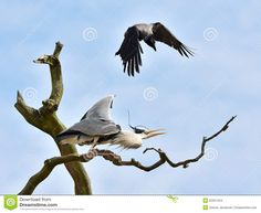 Just sold @ Dreamstime: Hooded Crow attacking a Grey Heron in a tree with blue skies in the background https://www.dreamstime.com/stock-photo-hooded-crow-corvus-cornix-attacking-grey-heron-ardea-cinere-tree-blue-skies-background-image53321454