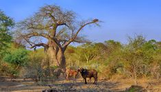 Buffalo standing near Baobab tree in the Pafuri area in the Northern Kruger National Park Portrait Images, Pet Portraits, Kruger National Park, National Parks, Buffalo Bulls, Baobab Tree, Elephant Walk, Dangerous Animals, Walk Past