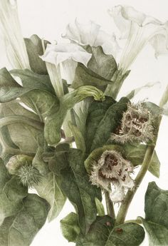 Botanical Artist - Elaine Searle