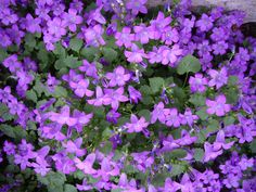 Download Flowering Groundcover | Michigan Home Design