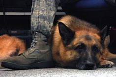 Why Is the U.S. Army Denying Life-Saving Service Dogs For Veterans?