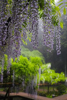 Wisteria in the rain, Kasuga-Taisha (Kasuga Grand Shrine), Nara, Japan. (I'm so wishing our churches cared for nature like this. Beautiful World, Beautiful Gardens, Beautiful Images, Beautiful Flowers, Kasuga Grand Shrine, Dame Nature, My Secret Garden, Dream Garden, Belle Photo