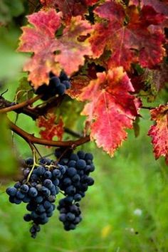 Concord grapes...color of fall