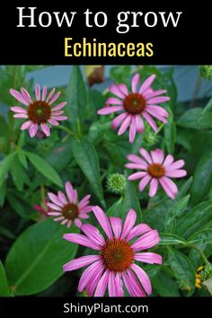 learn how to take care of your purple perennial cornflower. Cornflower in a fall perennial plant. Echinacea in your garden give good look. Read this article to know everything you should know before growing them. #echinacea #perennial #plant