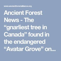 "Ancient Forest News - The ""gnarliest tree in Canada"" found in the endangered ""Avatar Grove"" on Vancouver Island in British Columbia."