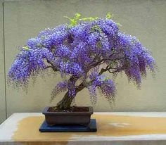 Wisteria bonsai! Nick and I both love wisteria...it grew outside big lore's house and was in my backyard growing up