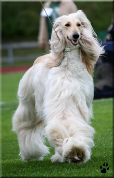 Afghan Hound Hound Puppies, Dogs And Puppies, Afghan Hound Puppy, Hyena, All Gods Creatures, Afghans, Dog Grooming, Great Photos, Dog Cat