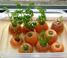 13 Vegetables That Magically Regrow Themselves You can grow carrot greens from discarded carrot tops. ******so u can buy organic and regrow organic******* ******could actually afford organic now! Carrot greens can be regrown from carrot tops. Growing Veggies, Growing Plants, Growing Carrots From Seed, Organic Gardening, Gardening Tips, Indoor Gardening, Beginners Gardening, Gardening Quotes, Urban Gardening