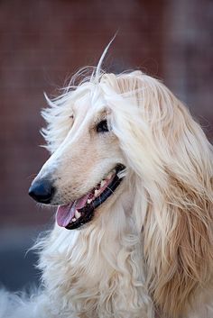 Afghan Hound ♥ Loved and pinned by Noah's Ark Mobile Vet Service Big Dogs, I Love Dogs, Cute Dogs, Dogs And Puppies, Doggies, Beautiful Dogs, Animals Beautiful, Magyar Agar, Afghan Hound