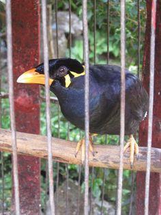 Hiro the bird at Yuliati House, Ubud, Bali, Indonesia