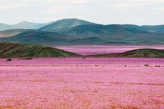 『貴重な光景』 チリの首都サンティアゴの北、約750キロに位置するアタカマ地域で、一 - Yahoo!ニュース(ナショナル ジオグラフィック日本版)