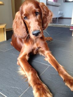 Irish Setter - reminds me of when I was a little girl and had my first dog Max ❤️