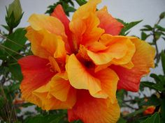 Are you ready for Flower Friday? This week it's all about the hibiscus. Enjoy these stunning photos of this gorgeous flower. Beautiful Flowers Garden, Pretty Flowers, Beautiful Gardens, Hibiscus Rosa Sinensis, Large Flowers, Fresh Flowers, Blooming Flowers, My Flower, Flower Power