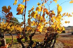 Helm Wines vineyard in Yass Valley's Murrumbateman- fantastic wines and cellar door experience. Another great place to visit when you stay @ The Globe Inn, Yass bed and breakfast accommodation.