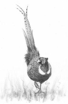 pheasant drawing - Google Search