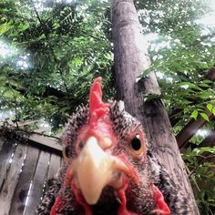 The Angry Chicken | The 33 Most Important Animal Selfies Of Our Generation