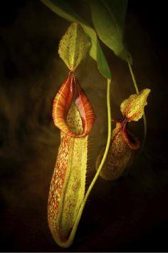 部屋の画像 by helikkoさん   部屋とネペンテス・ダイエリアーナと食虫植物とお気に入り植物 フォト&エピソード コンテスト