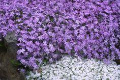purple and white gardens - Google Search