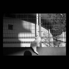 https://flic.kr/p/B5eBYL | Mayu November 2015  #cat #photograph #blackandwhitephotography