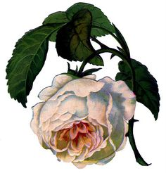 Click on Image to Enlarge This is a beautiful Victorian Scrap piece, showing a big White Rose, tinged with Pink! I love how full and droopy this Cabbage Rose is!
