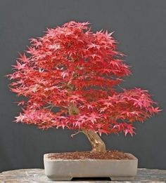 Japanese Maple bonsai..i want this for my office!