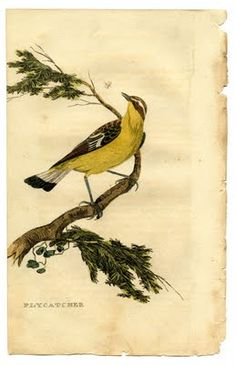 Instant Art Printable - Natural History - Yellow Bird - The Graphics Fairy