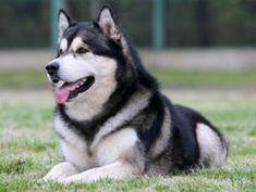 Chien Malamute de l'Alaska  Un chien de traîneau et de meute théoriquement très…