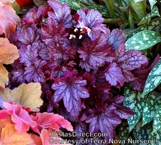 How to plant/care for -heuchera-shanghai_1b_1