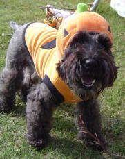 schnauzer pumpkin @Toni Bradford Costume for Quigley!! haha