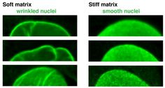Protein That Protects Nucleus Also Regulates Stem Cell Differentiation - Technology Org
