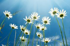 White Daisies on Blue Sky by Print a Wallpaper