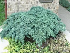 Cedrus deodara, Himalayan Cedar 'Prostrate Beauty'