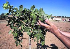 El pistachero es un árbol de hoja caduca, propio de climas templados y secos.