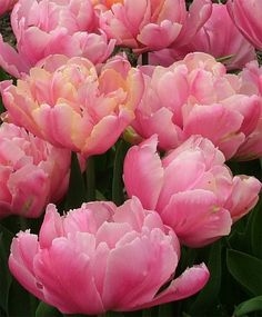 Tulip Pink Star - Peony Flowering Tulips - Tulips - Fall 2014 Flower Bulbs