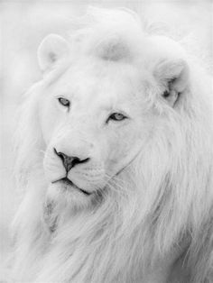 We've gathered our favorite ideas for White Lion Beautiful Albino Lion Beautiful Lion Lion, Explore our list of popular images of White Lion Beautiful Albino Lion Beautiful Lion Lion. Beautiful Lion, Animals Beautiful, Cute Animals, Wild Animals, Baby Animals, Lion Hd Wallpaper, Lion Photography, White Photography, Lion Facts