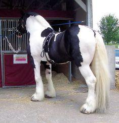 Galway Warrior - Drum Horse Stallion at Breyerfest
