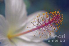 http://fineartamerica.com/featured/2-pua-aloalo-kokio-keokeo-hibiscus-arnottianus-hawaiian-white-hibiscus-sharon-mau.html