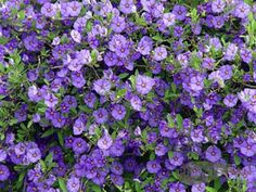 Solanum rantonettii/Blue Potato Bush..train to form a standard, in spring/summer/autumn