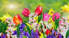 Find Spring Flowers Daffodils Tulips stock images in HD and millions of other royalty-free stock photos, illustrations and vectors in the Shutterstock collection. Thousands of new, high-quality pictures added every day. Spring Images, Spring Photos, Daffodils, Tulips, Spring Garden, Stock Pictures, Spring Flowers, Photo Editing, Daisy